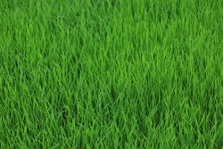 Young paddy growing in field. Green grass in the wind. Fresh green grass background. Green color background. Paddy plant pattern texture backgrounds. Paddy leaves crop growth in high angle view.
