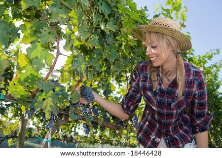 Young peasant woman  watching the grapes during the harvest