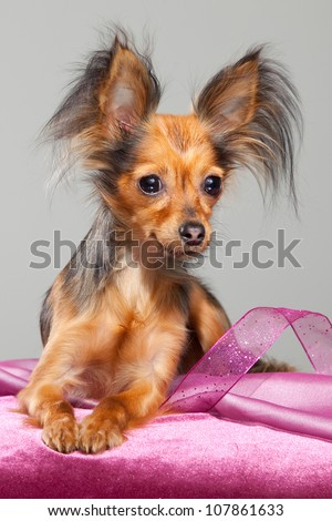 Young pedigree dog of Moscow long-haired toy terrier on pink pillow