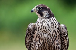 Young Peregrine Falcon side profile