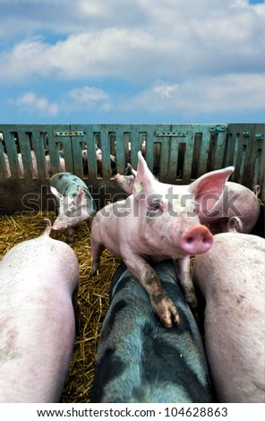 Young pig in stable on top of other pigs