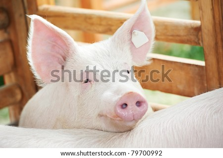 young pig with risen ears in shed #79700992