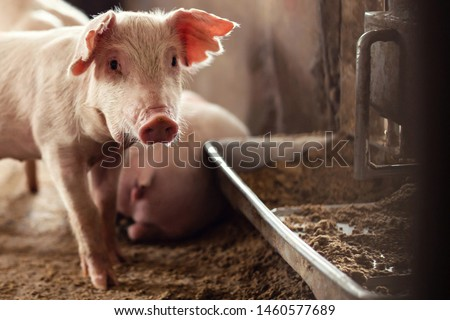 Young piglet are feeding on farms pig. Pigs portrait. Photo stock ©