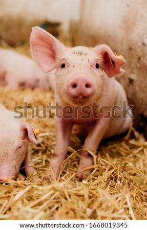 Young Piglets at Livestock Farm Photo stock ©