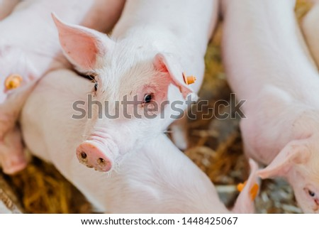young piglets in agricultural livestock farm #1448425067
