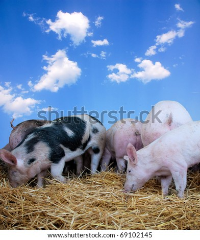 Young pigs on hay with a blue sky backgroung