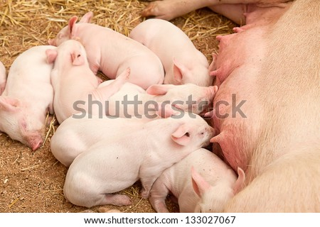 Young pigs sleeping in the barn