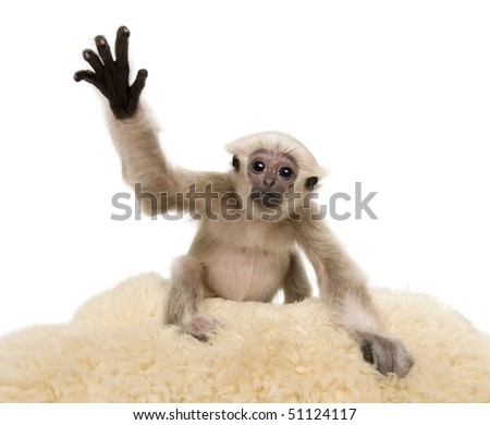 Young Pileated Gibbon, 4 months old, Hylobates Pileatus, on rug with paw up in front of white background