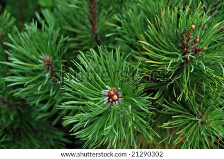 Young pine-tree, cedar, needles