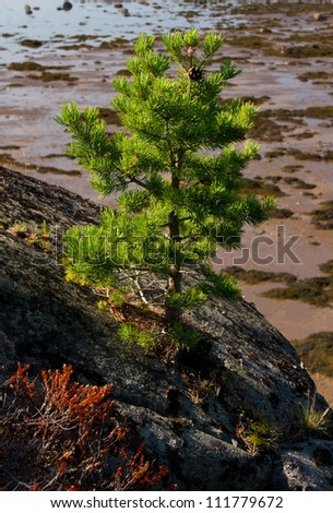 Young Pine Tree on the Rock of Unpopulated Island