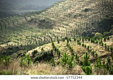 Young pine tree plantation