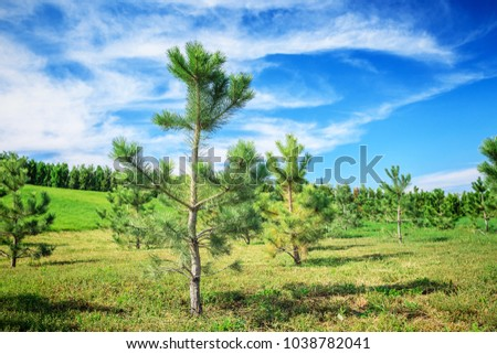 Young pine trees growing on the green field on the blue sky background #1038782041