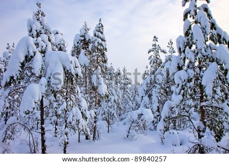 young pine trees in the snow