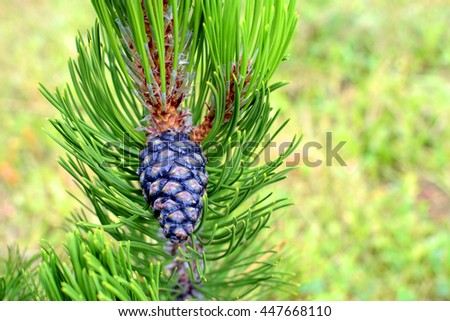 Young pinecone. #447668110