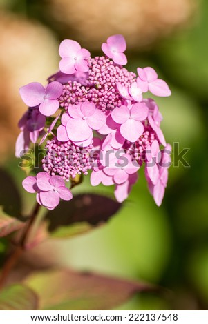 Young Pink Hydrangea. Young growing flowers, Hydrangea, in a garden during early autumn.