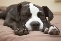 Young Pit Bull puppy asleep on comfortable bed