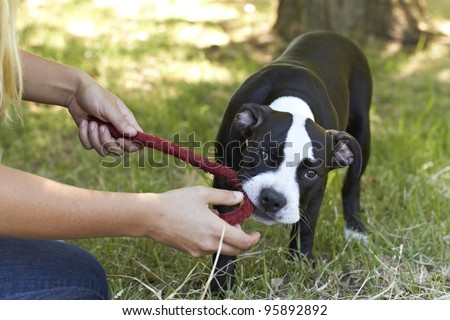 Young Pit Bull puppy biting red play rope - stock photo