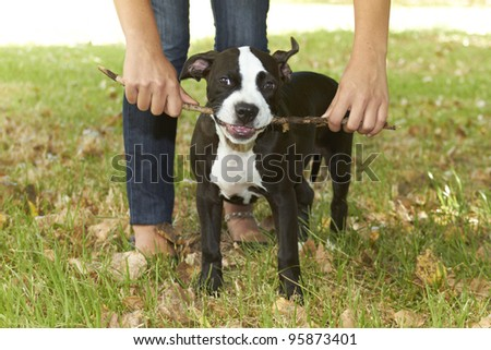 Young Pit bull puppy biting stick