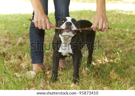 Young Pit bull puppy chewing stick - stock photo