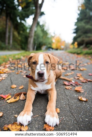 Young Pit Bull Puppy Sitting on Colorful Fall Leaves #506951494