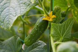 Young plant cucumber with  blooming cucumber flowers. Cultivation of cucumbers in fields. Vegetables plantation.  Growing organic food. Cucumbers harvest.
