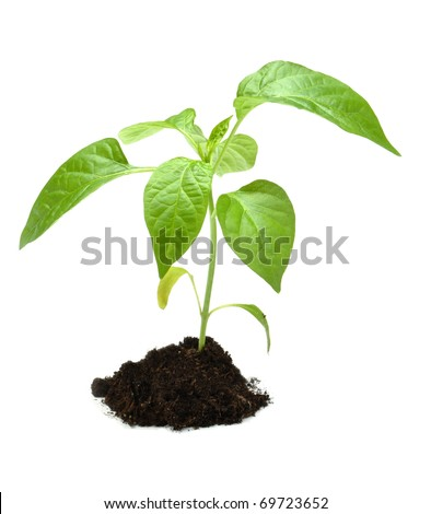 Young plant in dark soil isolated on white background.