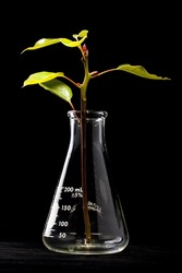 Young plant in the laboratory flyaske, background - black.