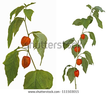 Young plant Physalis peruviana isolated on white background