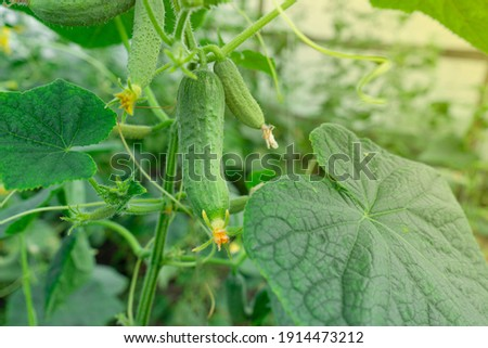 Young plants blooming cucumbers with yellow flowers in the sun, close-up on a background of green leaves. Young cucumbers on a branch in a greenhouse. Growing and blooming greenhouse cucumbers