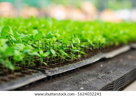 Young plants growing in a very large plant nursery in the Thailand. Rows of seedling plant ( Zinnia violacea Cav.) in greenhouse