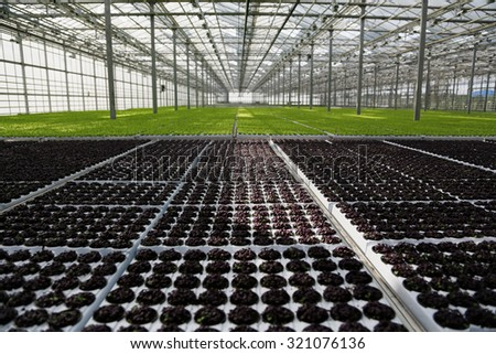 Young plants growing in very large plant  in commercial greenhouse