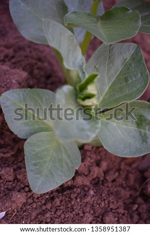 Young plants of broad bean (Vicia faba)