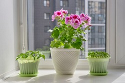 Young plants of tomato, bell pepper in green pots and blooming houseplant Pelargonium regal in a white pot on the window sill on background urban building. Vegetable garden at home.
