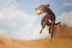 Young, playful, cheerful, energetic, racing, funny and fast dog breed whippet running, jumping, flying to the ball on a dirt road in a blue sky background