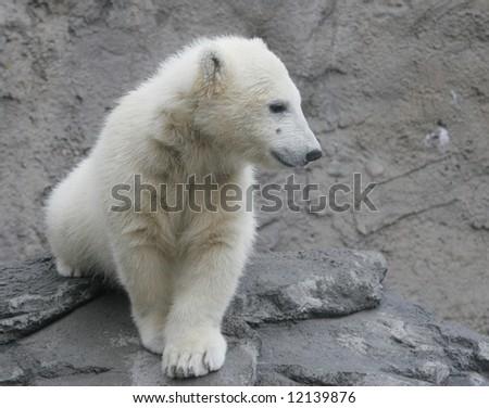 Young Polar Bear Cub