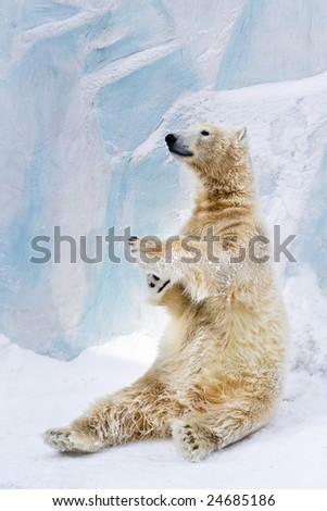 Young polar bear sitting on the snow
