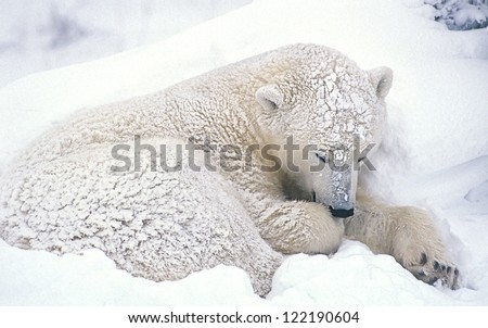 Young polar bear sleeping through snow storm