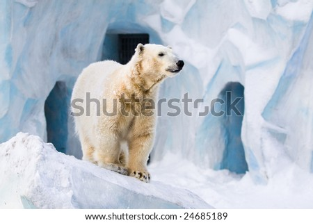 Young polar bear standing on the ice block