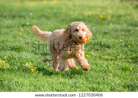 Young poodle running and jumping joyfully in a meadow. Apricot poodle in spring playing on the flower meadow, Vienna, Austria