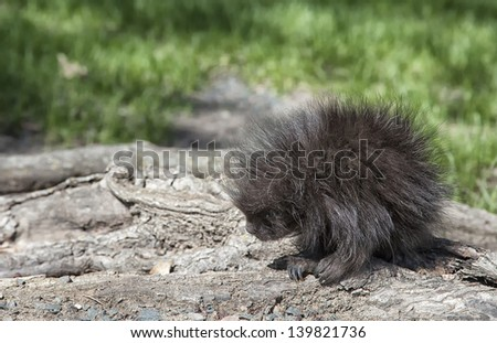 Young porcupine at base of a tree.