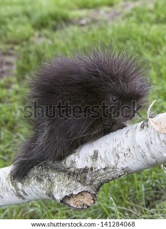 Young porcupine baby climbing on a birch tree limb.  Spring in Wisconsin