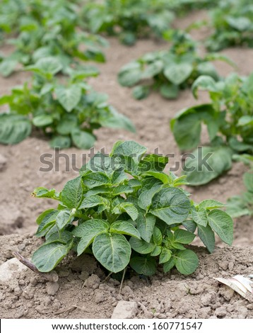 Young potato plant growing in a field or allotment garden