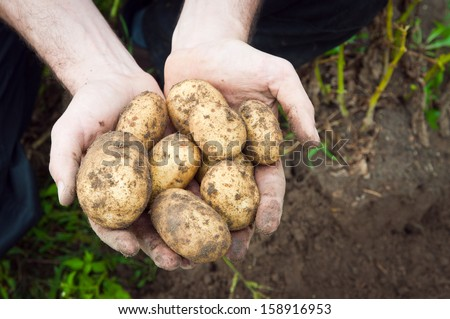 Young potatoes in hands