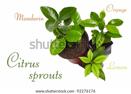 young potted citrus sprouts isolated on white