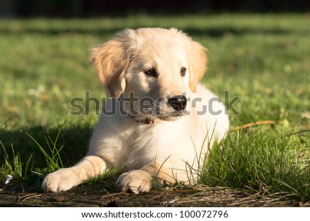 Young Pretty Golden Retriever Puppy Laying in Sun and Grass