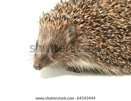 young prickly hedgehog in studio, isolated on the white background
