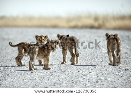 Young Pride / lion cubs