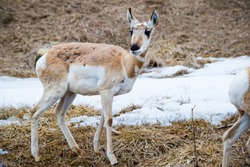 young prong horned deer on grass and snow scene in winter at zoo