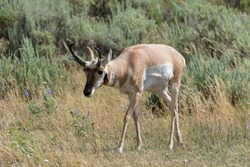 Young pronghorn - scientific name: antilocapra americana - grazing in a grassland at the end of summer - Yellowstone National Park, WY - USA