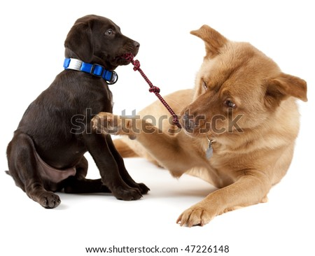 Young puppy and adult dog playing tug-of-war with toy